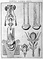 "Male sexual organs, Vesling ""Syntagma"", 1647 Wellcome L0007889.jpg"