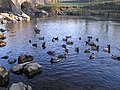 Mallards on the River Lune at Devil's Bridge - geograph.org.uk - 632964.jpg