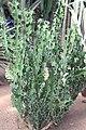 Malpighiales - Euphorbia caerulescens 2.jpg
