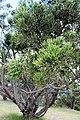 Malpighiales - Euphorbia tirucalli - 2.jpg