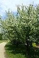 Malus floribunda kz06.jpg