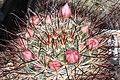 Mammillaria jaliscana pm 1.JPG