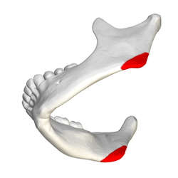 Mandibular angle - close-up - lateral view3.png