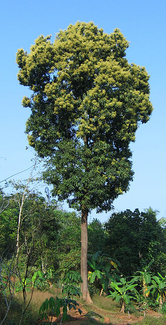 Mango - A mango tree in full bloom in Kerala