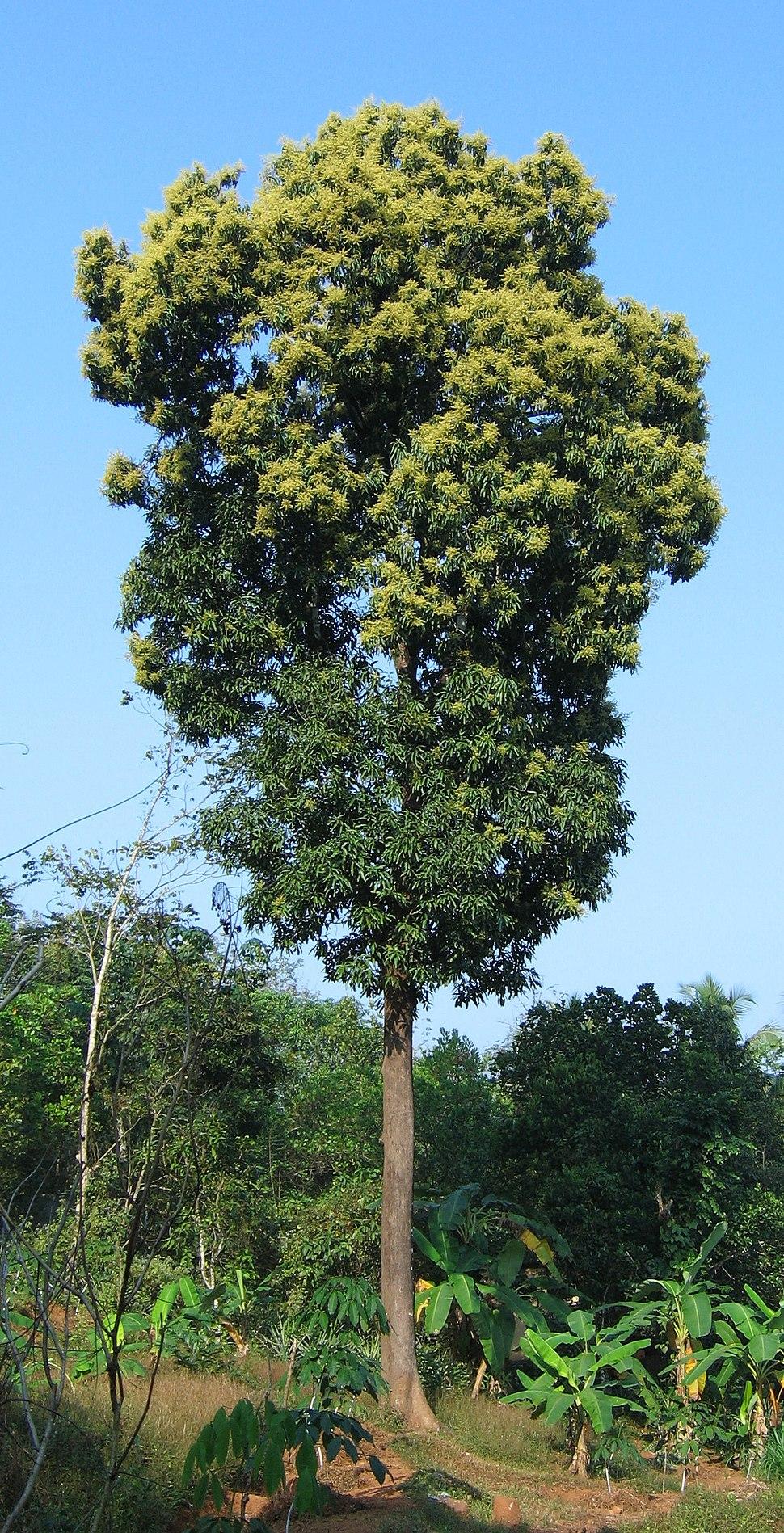 Mango tree Kerala in full bloom