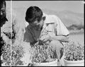 Manzanar Relocation Center, Manzanar, California. George J. Yokomizo, hybridizer for the guayule ru . . . - NARA - 538030.tif