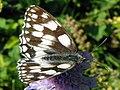 Marbled White (Melanargia galathea), Shackledell Grassland, Stevenage (23335963523).jpg
