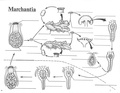 Marchantia Life Cycle.pdf