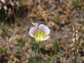 Mariposa Lily - Carson National Forest 01.jpg