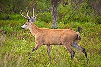 Marsh Deer, Esteros Del Ibera, Corrientes, Argentina, 3rd. Jan. 2011 - Flickr - PhillipC.jpg