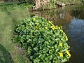 Marsh Marigold - Caltha palustris - geograph.org.uk - 1231792.jpg