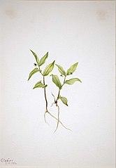 Kruhsea (Kruhsea streptopoides)