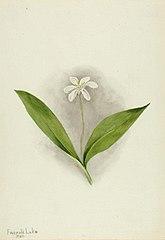 Queencup (Clintonia uniflora)