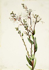 Tarflower (Befaria racemosa)
