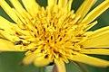 Meadow salsify - Tragopogon pratensis - panoramio (1).jpg