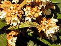 Mediterranean Mantis (15803708421).jpg