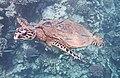 Meeresschildkröte Bissa.Морская черепаха Бисса (Eretmochelys imbricata)..DSCF0649WI.jpg