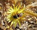 Megachilidae male of Icteranthidium grohmanni (39268181605).jpg