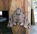 Meganoton analis - Doi Su Thep, Chiang Mai - North Thailand (5934757296).jpg