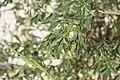 Melilotus officinalis-2736.jpg