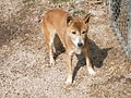 Melody the New Guinea Singing Dog (2010).jpg