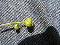Mercurialis perennis femele flower.JPG