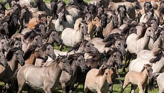 Stampede - Wild horses  stampeding