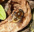 Meroden equetris - Flickr - gailhampshire.jpg