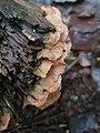 Merulius tremellosus 107575153.jpg