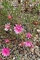 Mesembryanthemum 'Apple Blossom' kz1.jpg