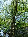 Metasequoia Glyptostroboides1.jpg