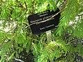 Metasequoia glyptostroboides 'Matthaei Broom' (28521023140).jpg