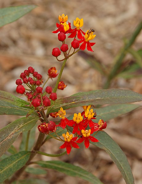 File:Mexican Butterfly Weed Asclepias curassavica Ants 2000px.jpg