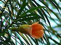 Mexican Oleander (338609162).jpg