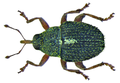 Micrelus ericae (Gyllenhal, 1813) (8469448987).png