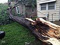 Micro-burst damaged tree.JPG