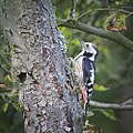 Middle spotted woodpecker (29685551140).jpg