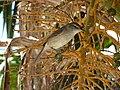 Millerbird3.jpg