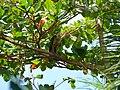 Milvago chimachima juvenile1-Cayenne3.jpg