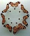 Mimetismo mülleriano em borboletas da família Nymphalidae.jpg
