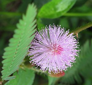 Mimosa pudica - Mimosa pudica flower from Thrissur, Kerala, India
