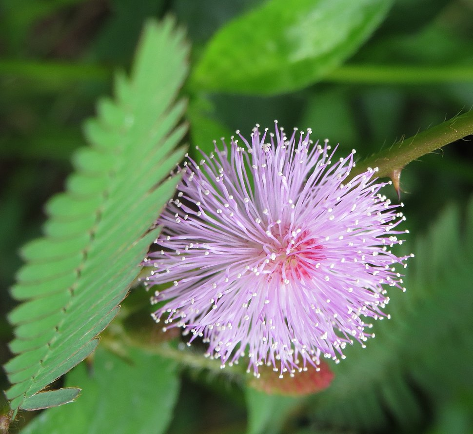 Mimosa pudika flower from Thrissur, Kerala, India
