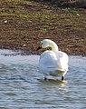 Mindre Sångsvan Tundra Swan (13042057264).jpg