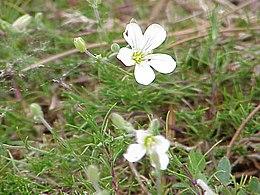 Minuartia laricifolia0