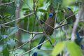 Momotus subrufescens, Panama 4.jpg