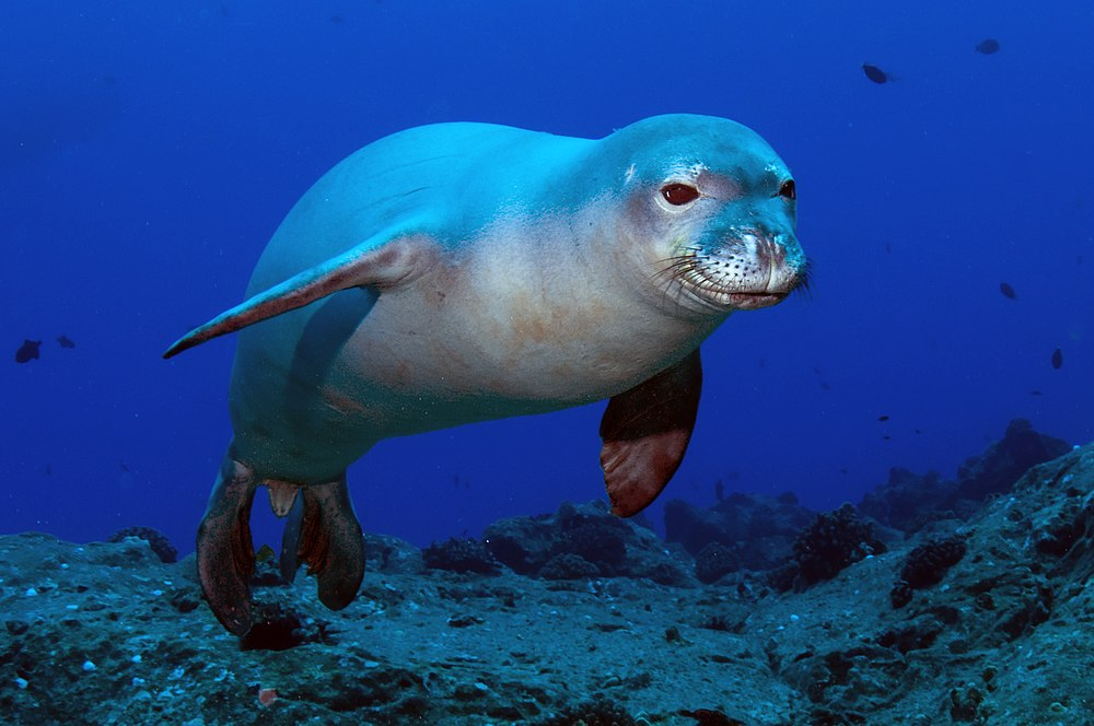 The average litter size of a Hawaiian monk seal is 1