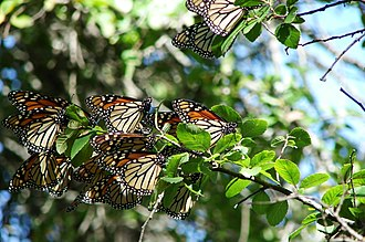 Insect migration - Monarch butterflies roosting on migration in Texas