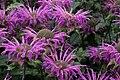 Monarda-didyma-flower-heads.JPG