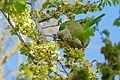 Monk Parakeet (Myiopsitta monachus) eating elm seeds ... (26050031434).jpg