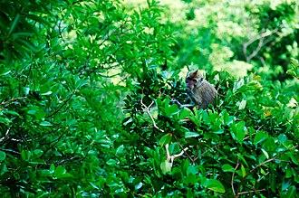 Wildlife of Mauritius - Primates at Black River, Mauritius